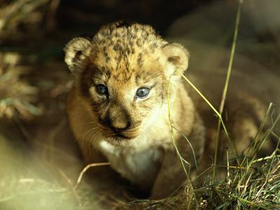 Close View of a Lion Cub-Beverly Joubert-Photographic Print