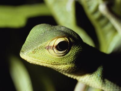 Close View of a Lizard-Peter Carsten-Photographic Print