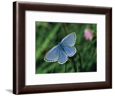 Close View of a Maculinea Alcon Butterfly-Darlyne A. Murawski-Framed Photographic Print