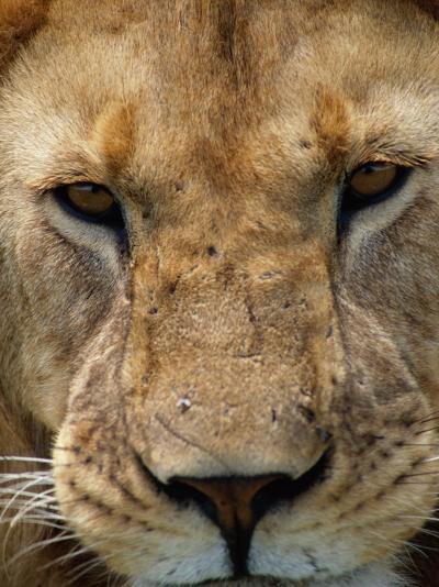 Close View of a Male Lion (Panthera Leo)-Beverly Joubert-Photographic Print