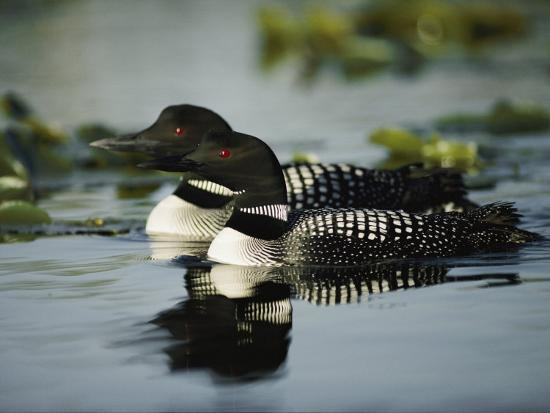 Close View of a Mated Pair of Common Loons Swimming in Tandem-Michael S^ Quinton-Photographic Print