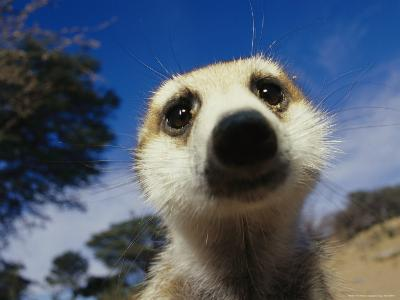 Close View of a Meerkat's Face-Mattias Klum-Photographic Print