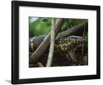 Close View of a Nile Monitor (Varanus Niloticus) Crawling Through the Undergrowth-Michael Nichols-Framed Photographic Print