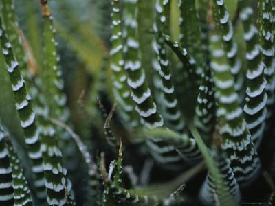 Close View of a Plant from the Haworthia Species-Raul Touzon-Photographic Print