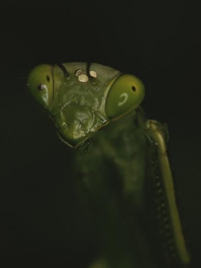 Close View of a Praying Mantis-Michael Melford-Photographic Print