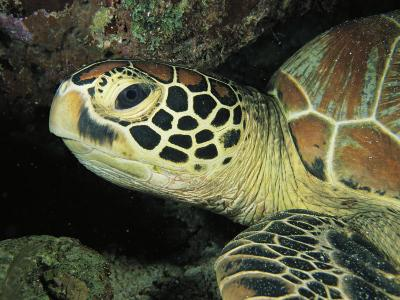 Close View of a Sea Turtles Head-Tim Laman-Photographic Print