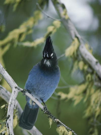 Close View of a Stellers Jay Sitting on a Branch-Michael S^ Quinton-Photographic Print