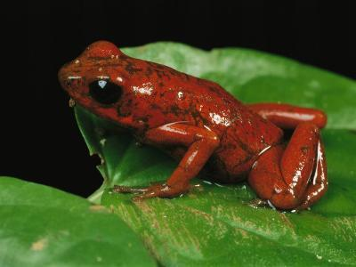 Close View of a Strawberry Poison Dart Frog-George Grall-Photographic Print