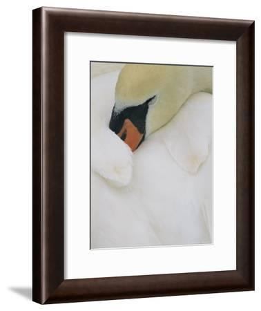 Close View of a Swan Sleeping with Its Beak Tucked Under Its Wing-Norbert Rosing-Framed Photographic Print