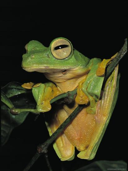 Close View of a Wallaces Flying Frog Hanging on a Twig-Tim Laman-Photographic Print