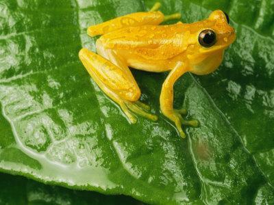 https://imgc.artprintimages.com/img/print/close-view-of-a-yellow-tree-frog-hyla-imbricata_u-l-p3ru070.jpg?p=0