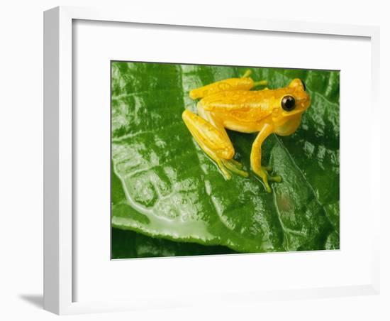 Close View of a Yellow Tree Frog (Hyla Imbricata)-George Grall-Framed Photographic Print