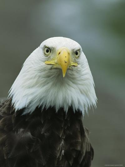 Close View of an American Bald Eagle-Tom Murphy-Photographic Print