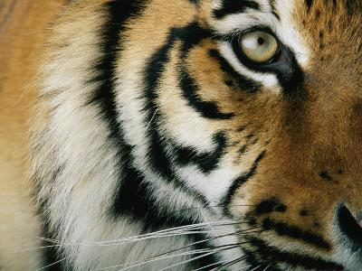 Close View of an Indian Tiger-Michael Nichols-Photographic Print