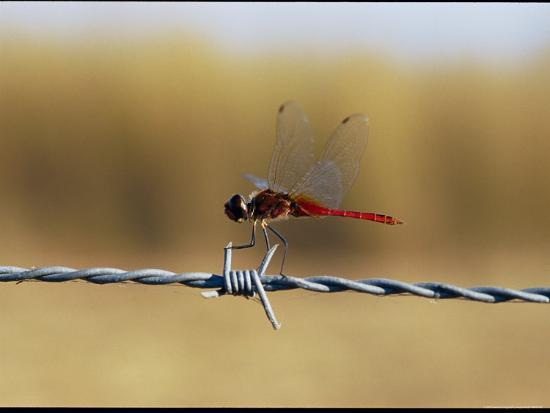 Close View of an Insect Perched on Barbed Wire-Nicole Duplaix-Photographic Print