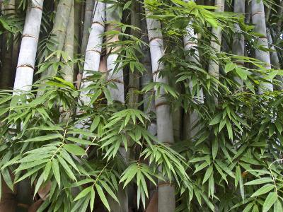 Close View of Bamboo with Leaves-Michael Melford-Photographic Print