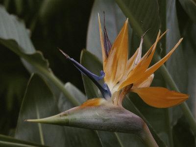 https://imgc.artprintimages.com/img/print/close-view-of-bird-of-paradise-flower_u-l-p4v22m0.jpg?p=0
