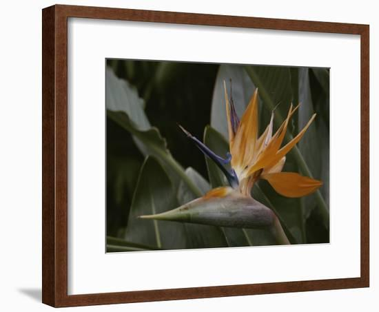 Close View of Bird of Paradise Flower-Stephen St. John-Framed Photographic Print