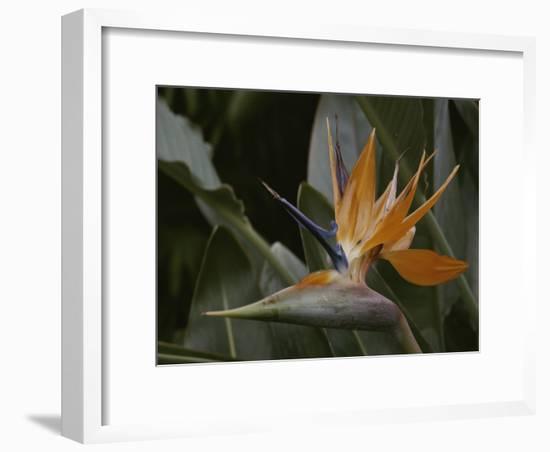 Close View of Bird of Paradise Flower-Stephen St. John-Framed Photographic Print