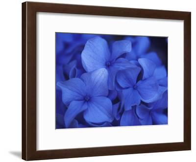 Close View of Blue Hydrangea Flowers, Cape Cod, Massachusetts-Darlyne A. Murawski-Framed Photographic Print