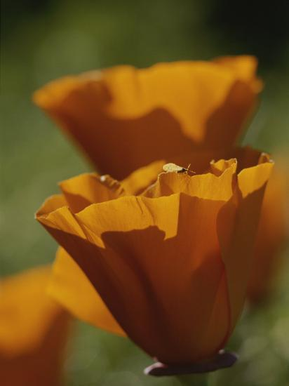 Close View of California Poppies-Marc Moritsch-Photographic Print