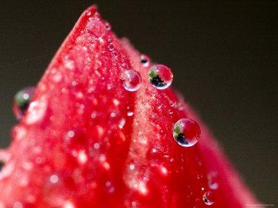https://imgc.artprintimages.com/img/print/close-view-of-drops-of-water-on-a-red-rose-bud-groton-connecticut_u-l-p2v7pn0.jpg?p=0