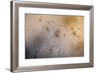 Close View of Grasses, Gap, France-Keith Ladzinski-Framed Photographic Print