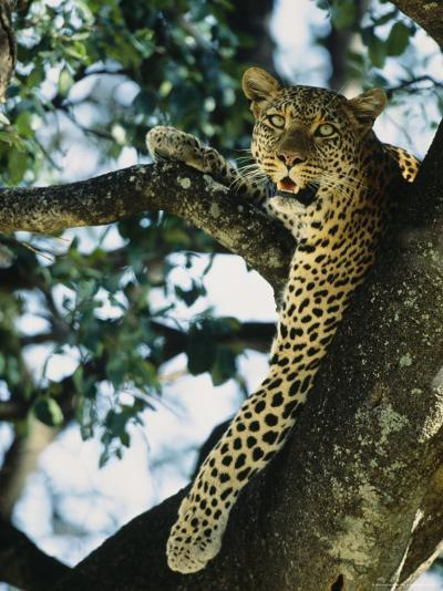 Close View of Leopard in Tree--Photographic Print
