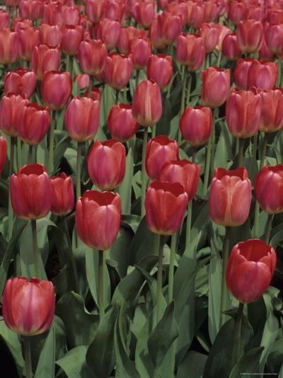 Close View of Many Tulips-Stacy Gold-Photographic Print