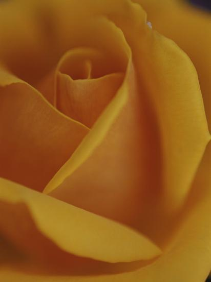 Close View of Olympic Gold Rose-Jason Edwards-Photographic Print