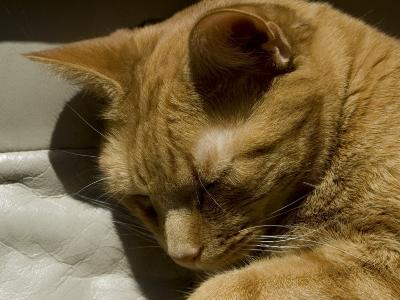 Close View of Orange Tabby Cat Sleeping, Groton, Connecticut-Todd Gipstein-Photographic Print