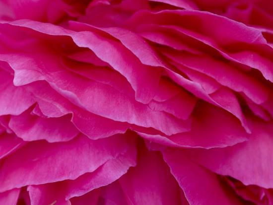 Close View of Petals of a Peony Flower, Groton, Connecticut-Todd Gipstein-Photographic Print