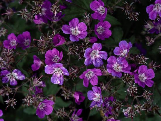 Close View of Purple Wildflowers-Mattias Klum-Photographic Print