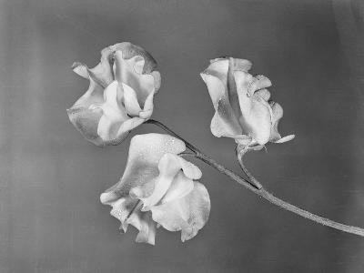Close View of Sweet Peas-Philip Gendreau-Photographic Print