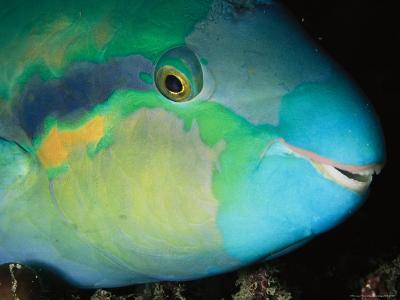 Close View of the Eye and Mouth of a Yellowbarred Parrotfish-Tim Laman-Photographic Print