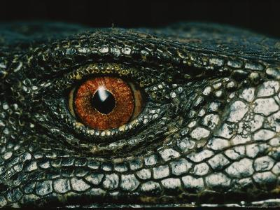 Close View of the Eye of a New Species of Monitor Lizard-Tim Laman-Photographic Print