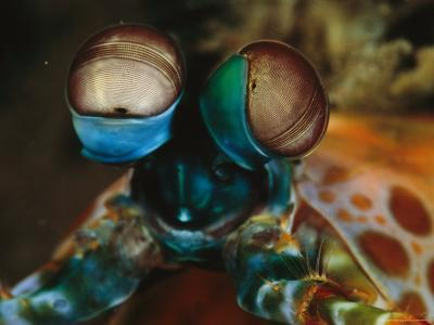 Close View of the Eyes of a Smashing Peacock Mantis Shrimp-Tim Laman-Photographic Print