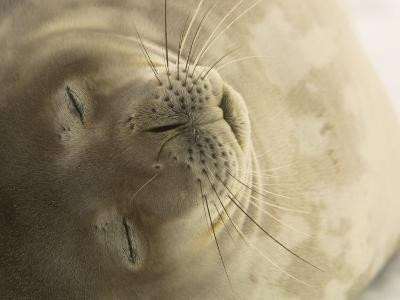 Close View of the Face of a Napping Weddell Seal-Ralph Lee Hopkins-Photographic Print