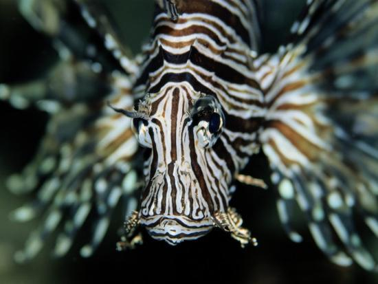 Close View of the Face of a Zebra Lionfish-Wolcott Henry-Photographic Print