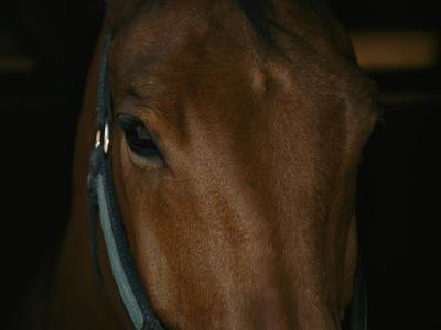 Close View of the Head of a Bay Horse-Stacy Gold-Photographic Print
