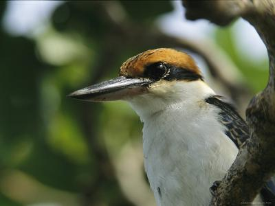 Close View of the Head of a Micronesian Kingfisher-Tim Laman-Photographic Print