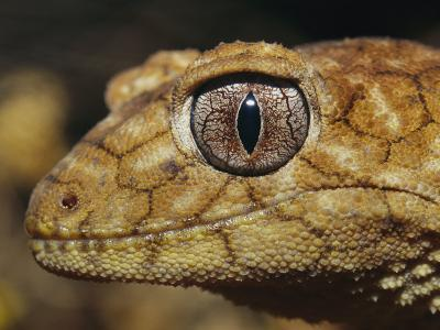 Close View of the Head of a Rough Knob-Tail Gecko-Jason Edwards-Photographic Print