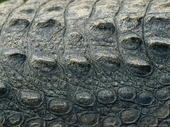 Close View of the Hide of an American Crocodile-Klaus Nigge-Photographic Print