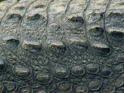 https://imgc.artprintimages.com/img/print/close-view-of-the-hide-of-an-american-crocodile_u-l-p4nj0h0.jpg?p=0