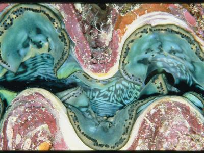 Close View of the Mantle of a Giant Clam-Wolcott Henry-Photographic Print