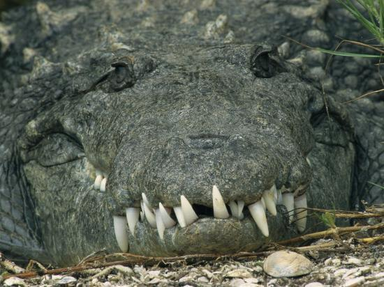 Close View of the Teeth of an American Crocodile-Klaus Nigge-Photographic Print