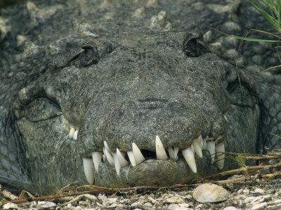 https://imgc.artprintimages.com/img/print/close-view-of-the-teeth-of-an-american-crocodile_u-l-p4b9lm0.jpg?p=0