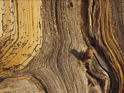 Close View of the Weathered Surface of a 1,500-Year-Old Bristlecone Pine-George F^ Mobley-Photographic Print
