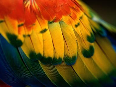Close View of the Wing of a Colorful Bird-Todd Gipstein-Photographic Print