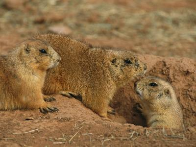 Close View of Three Prairie Dogs at the Entrance to Their Den-Annie Griffiths-Photographic Print